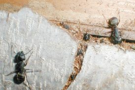 Use Following Methods To Get Rid Of The Carpenter Ants In The Walls